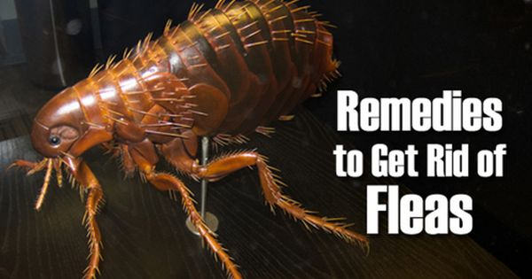 how to get rid of flea infestation in house