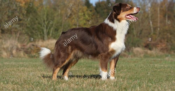 63 Australian Shepherd Profile In 2020 Australian Shepherd Animal Lover Collie