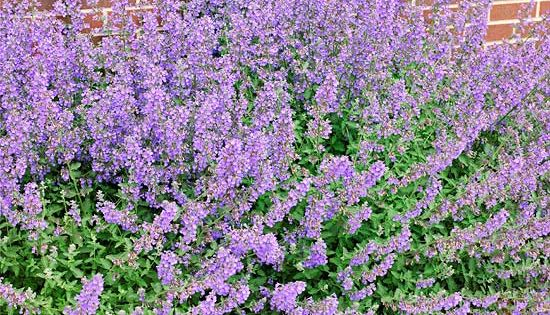 Constant Color from Catmint - give it a haircut after initial flush
