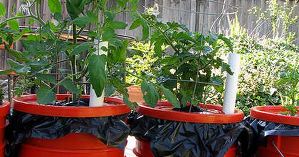 The Edible Garden / Tomato plants in paint buckets...creative idea!