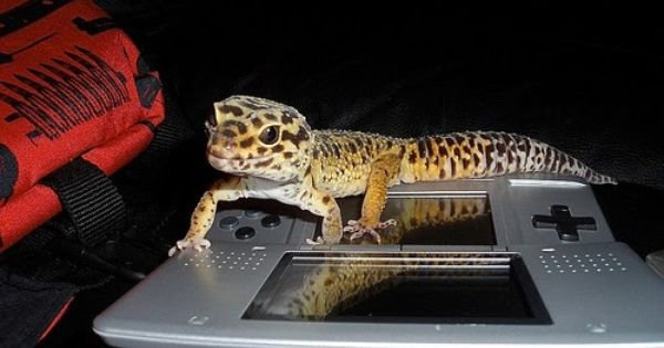 Leopard Gecko Playing Video Games Lizards Pinterest