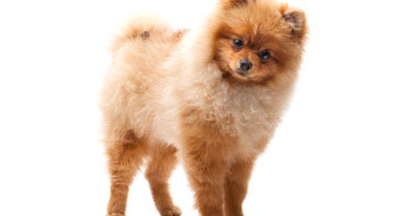 Bald Is Beautiful Petplan Pet Insurance On Alopecia X Part 1 Pets Pomeranian Puppy Pomeranian Puppy Boo