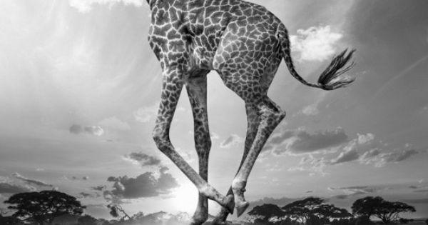 From The Series Hakuna Matata By Thomas Subtil The Strange Life Of Animals In Kenya Art De Girafe Animaux Africains Photographie Animaliere
