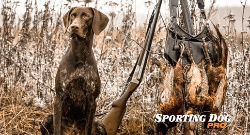 Pin On Hunting Dog Training Tips
