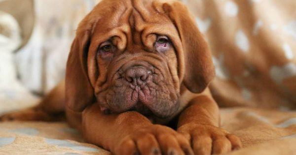 Stunning Dogue De Bordeaux Puppies For Sale Mastiff Puppies