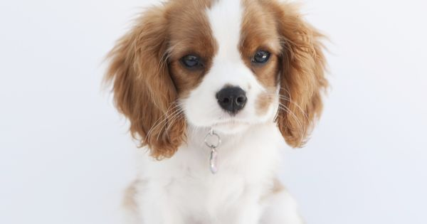 my new obsession cavalierkingcharles