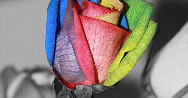 Tye dye rose flowers and gardens for Tye dye flowers