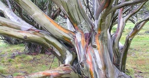 Snow Gum Eucalptus Tree Snow Gums Occur As Woodlands And Open Woodlands At Altitudes Of 1 300 1 800 M 4 265 Rainbow Eucalyptus Tree Nature Tree Unique Trees