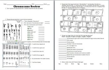 Chromosome Mitosis And Karyotype Analysis Worksheet Mitosis