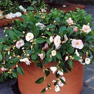 Camellia Assorted Container Plants Ground Cover Camellia