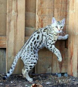 Meet Camber A Prime Example Of The Savannah Cat Cute Cats And Dogs Savannah Cat Cats And Kittens