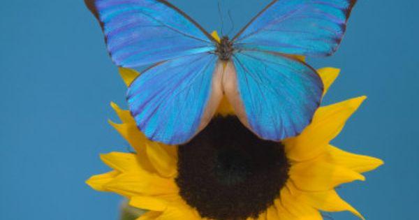 Pretty blue butterfly on sunflower | Sunflowers ...