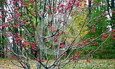 Winterberry Holly With Leaves Shed In Autumn And Which Then Sprout Red Berries On Leafless Branches This Colourful Display Of Red Lasts Through Fall And Wint