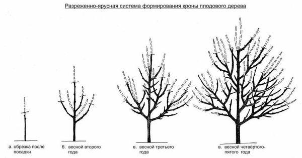 Схема обрезки абрикоса 9