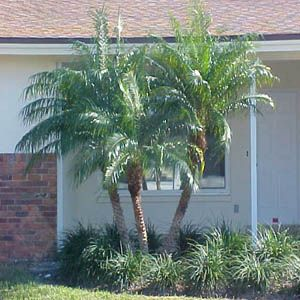 Pygmy Palm Image Detail For Palm Tree Guide With Illustrations Of Different Types Of Palm Trees Palm Trees Landscaping Florida Palm Trees Palm Tree Types
