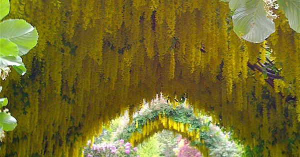 The Laburnum arch (Golden Chain Trees are the arch) with rolls of