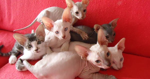 Peterbald Sphynx Kitten Extremely Rare Rex Cat Cats And Kittens Cornish Rex Cat