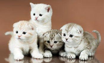 The Scottish Fold Kitten About The Breed Raising Happy Kittens Scottish Fold Kittens Scottish Fold Happy Kitten