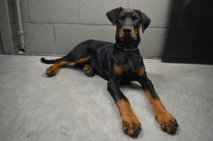 Dogs 101 Doberman Pinscher Most Popular Dog Breeds Dobie