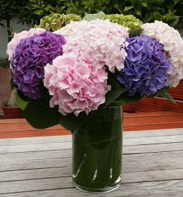 First Discovered In Japan The Name Hydrangea Comes From The Greek Hydor Meaning Water And Angos Meaning Jar Ornamental Plants Plants Flower Care