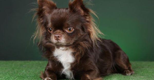 Chocolate Long Haired Chihuahua Stunning Chocolate Long Coat