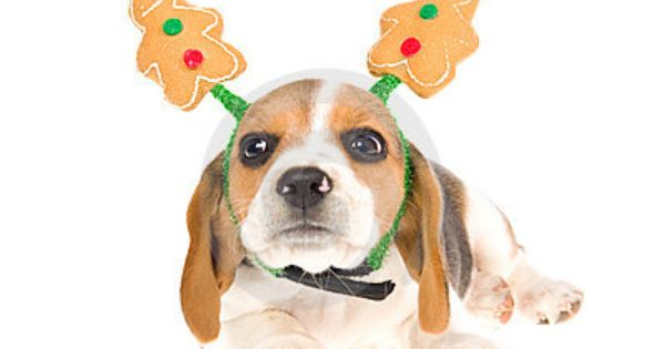 Cute Beagle Puppy Wearing Gingerbread Man Hat On White Background