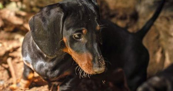 Minnie The Dachshund With Images Dachshund Critter