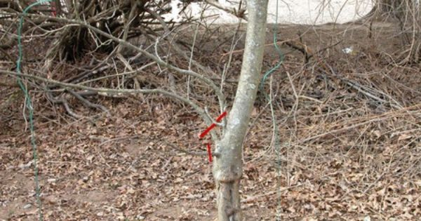 Prune Your Overgrown Apple Tree To Boost Its Vigor Pruning Apple Trees Apple Tree Fruit Trees
