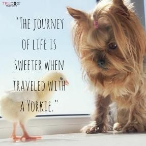 Yorkies Make It Sweeter It S A Yorkie Life Yorkshire Terrier Puppies Yorkshire Terrier Yorkie