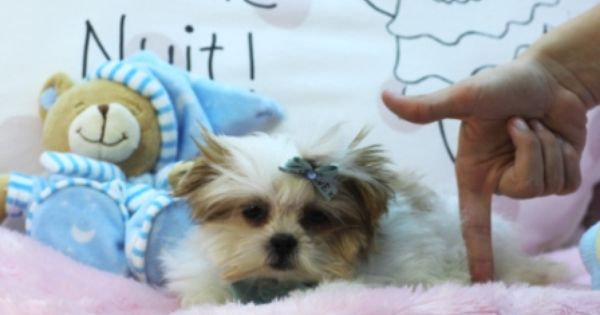 Morkie Puppies For Sale Teacup Puppies Store Morkie Puppies Teacup Puppies Morkie Puppies For Sale