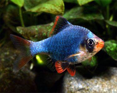 Green Tiger Barb Puntius Tetrazona Tetra Fish Aquarium Fish Tropical Fish Aquarium