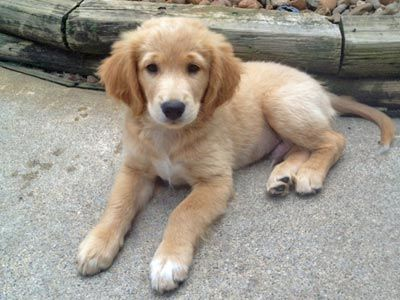 Zeus Has Been Adopted This Is Zeus And He Is A 9 Week Old Golden