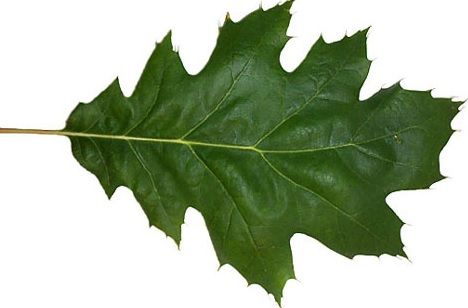 15 Health Benefits Of Oak Leaves With Proven Evidence That Already Used Around The World As Natural Remedies In 2020 Oak Leaves Leaves Red Oak Leaf