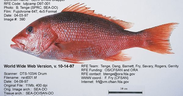 Snapper fish species florida fish species for Snapper fish florida