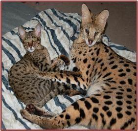 Florida Bengal Savannah Cat Kitten Cats And Kittens Bengal Kitten Bengal Cat