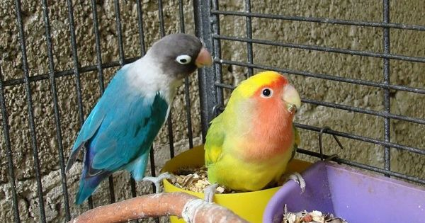 5 Cara Mencetak Lovebird Konslet Betina Dengan Untulan Burung Beo Makanan Burung Burung