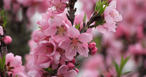 Peach Tree Blossoms We Have A Two Year Old From A Seed My