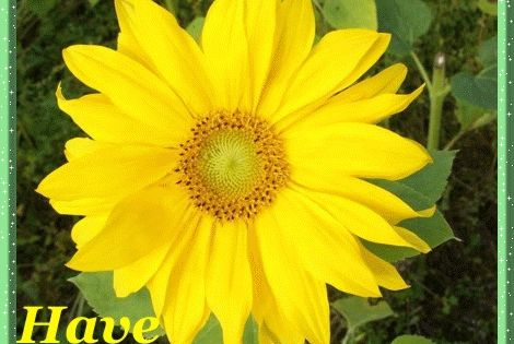 Good morning, have a nice day quotes sunflower good