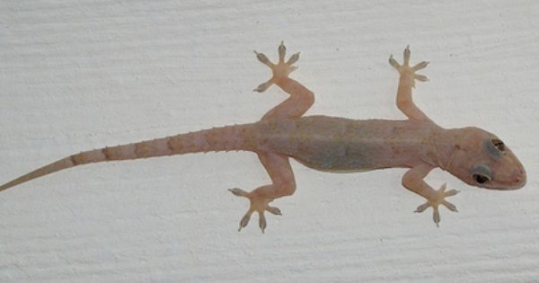 Hemidactylus Mabouia Tropical House Gecko Sighted Coconut