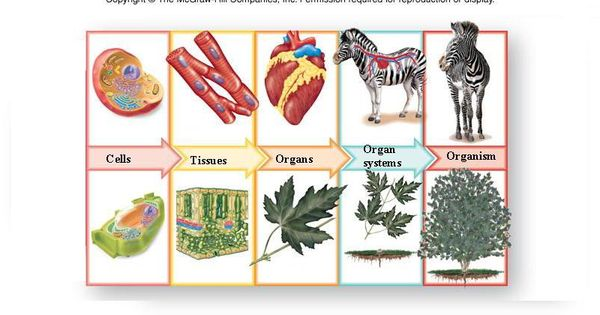 All Living Things Have Different Levels Of Organization  In The Picture You Can See How Plants