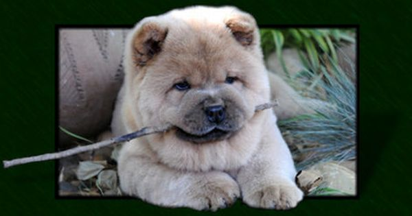 Fawn Smooth Chow Chow Puppy Chow Chow Puppy Boo The Dog Chow Chow