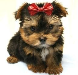 Maxies Babies Photo Gallery Yorkshire Terrier Terrier Yorkie Puppy