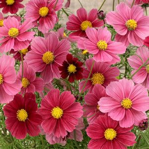 Cosmos Bipinnatus Antiquity Cosmos Flowers Flower Seeds Annual Flowers
