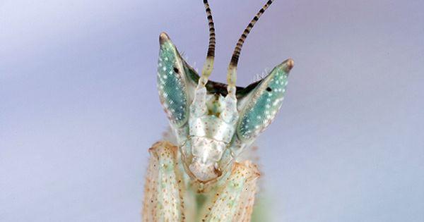 Gambian Spotted Eye Flower Mantis Gambian Praying Mantis Seeing Black Dots