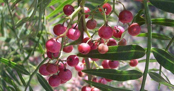 Pepper Berry Tree Asparagus Fern Berries Stuffed Peppers