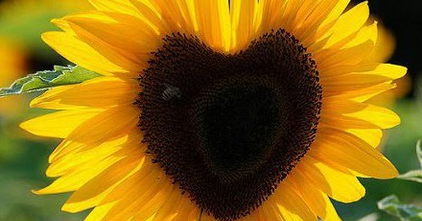 Sunflower with a beautiful heart. … | Photography ...