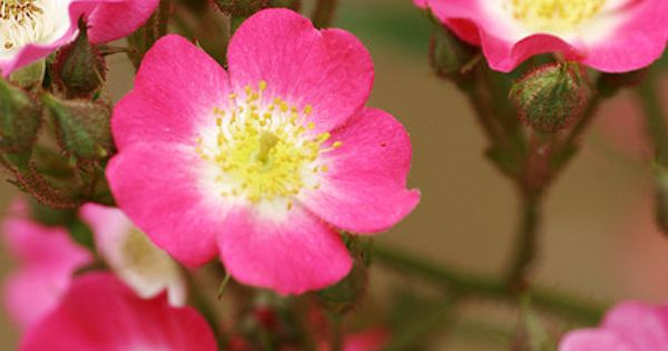 memorial day rose seeds