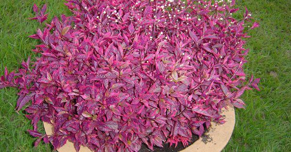 c2444bf34392d25a37c0f2535ed0d3dd Alternanthera House Plant on hypoestes plant, parrot's beak plant, ruellia plant, anubias plant, angelonia plant, salpiglossis plant, green hedge aquarium plant, anisodontea plant, trifolium plant, sanvitalia plant, anode plant, jacob's coat plant, calico plant, alyssum plant, hemigraphis plant, cordyline plant, bursera plant, crossandra plant, euphorbia plant, joseph's coat plant,