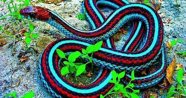 Neon Blue Garter Snake Mother Nature rocks!