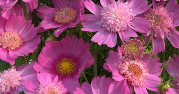 Cosmo Pink Pop Socks Each Pink Pop Socks Cosmos Plant Produces Remarkable Single Semi Double And Anemone Shap Annual Flowers Flower Seeds Cosmos Flowers